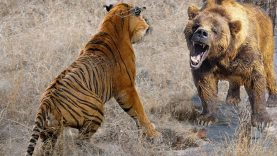 Extreme combats tigre contre ours